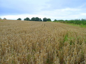 Wheat_awaiting_harvest_-_geograph.org.uk_-_945579
